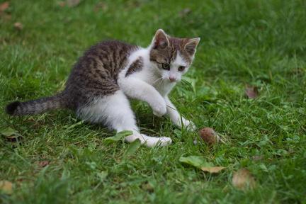 kočka - hrající si